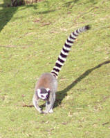 Lemurs at play in the zoo